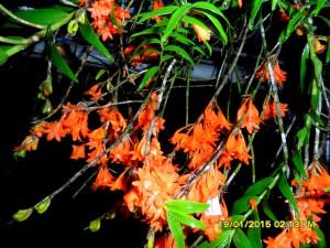 Dendrobium melianthum