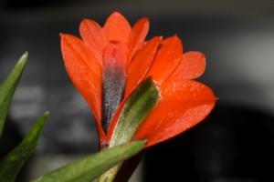 Dendrobium vexillarius rot