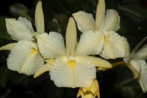 Broughtonia sanguinea var. aurea