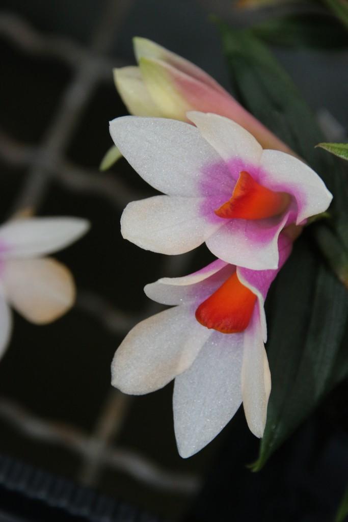 Dendrobium glomeratum x cuthbertsonii
