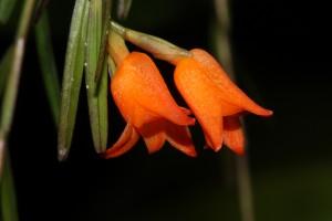 Isochilus aurantiacus