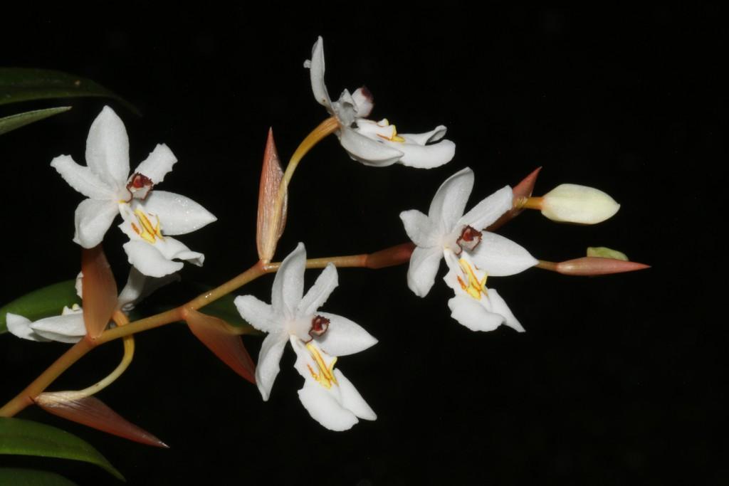 Chelonistele maximae-reginae, Blütenstand