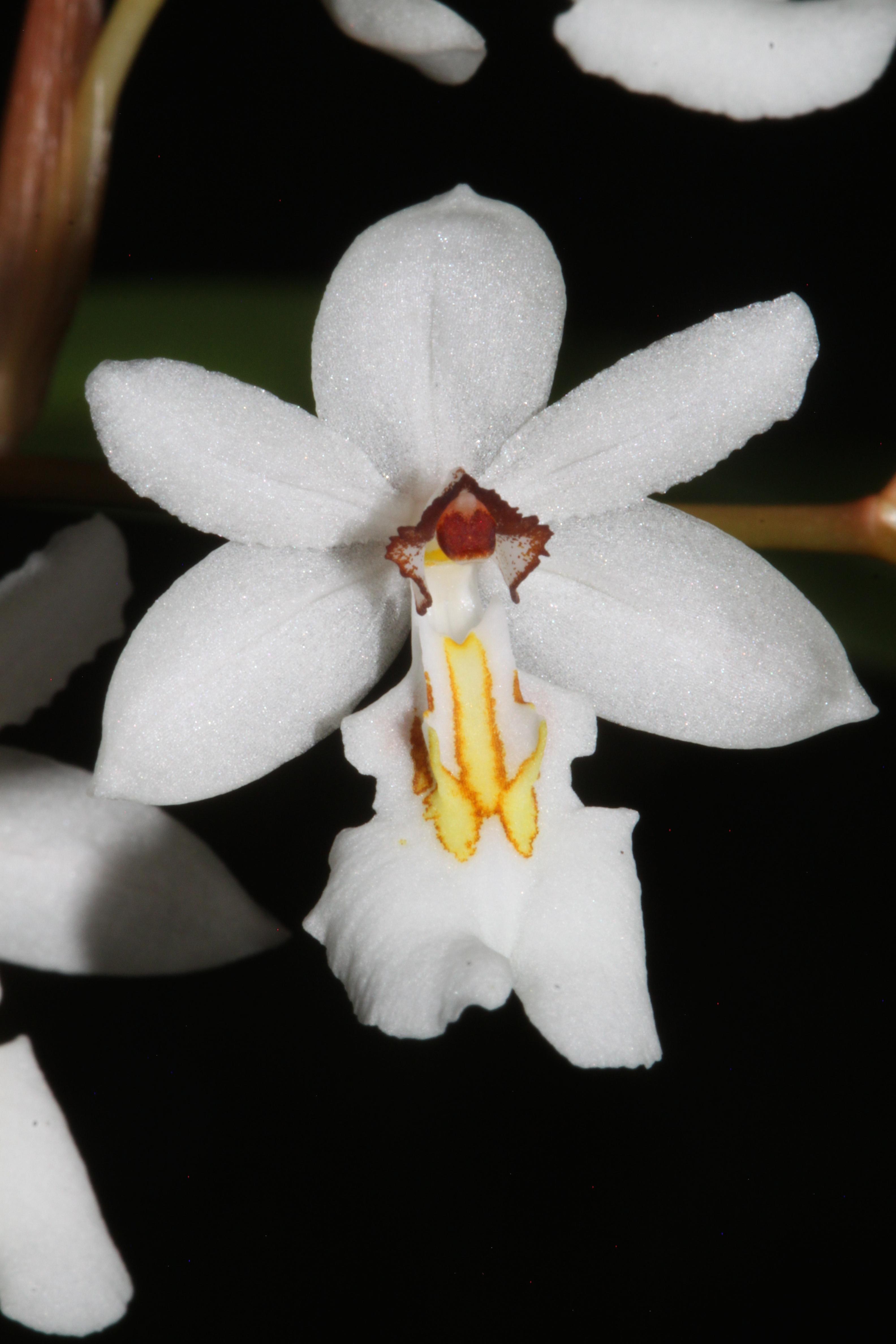 orchidee mit langen blättern