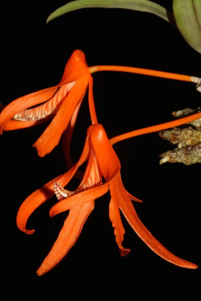 Dendrobium lamiyaiae