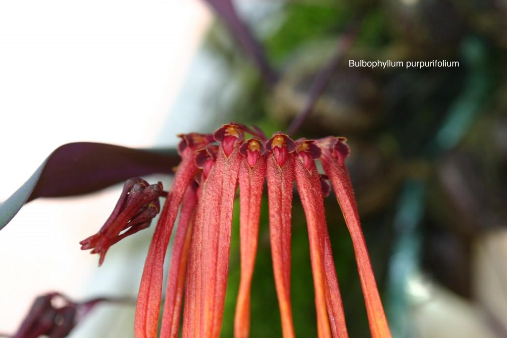 160 B. purpurifolium