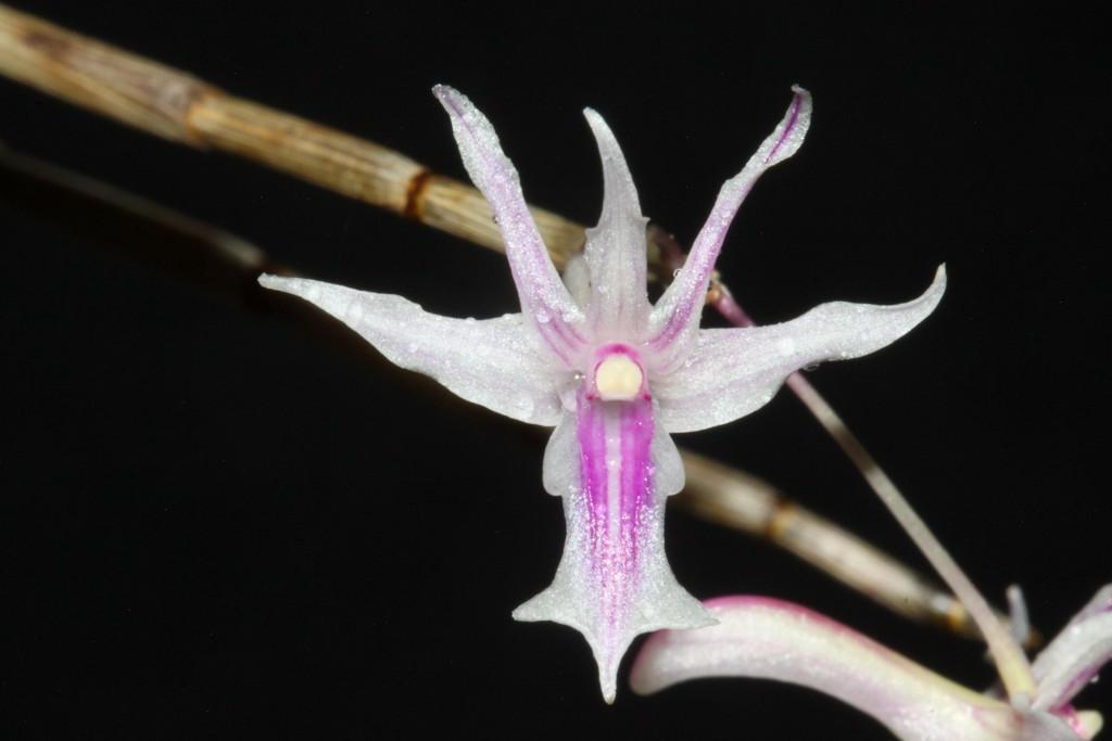 Dendrobium rantii