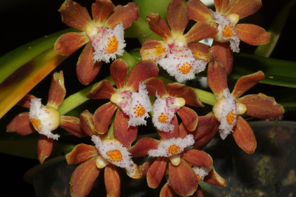 Gastrochilus acutifolia