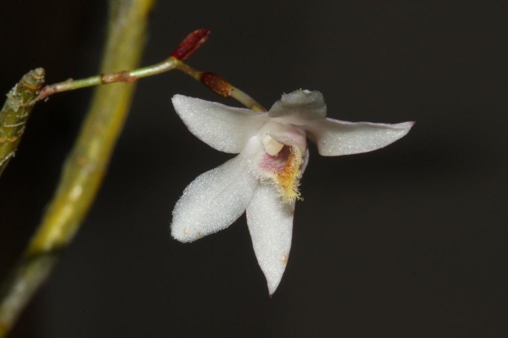 Dendrobium stuposum