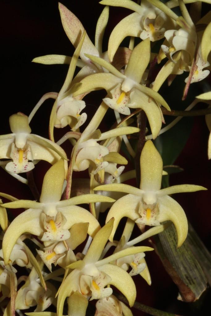 Dendrobium x suffusum