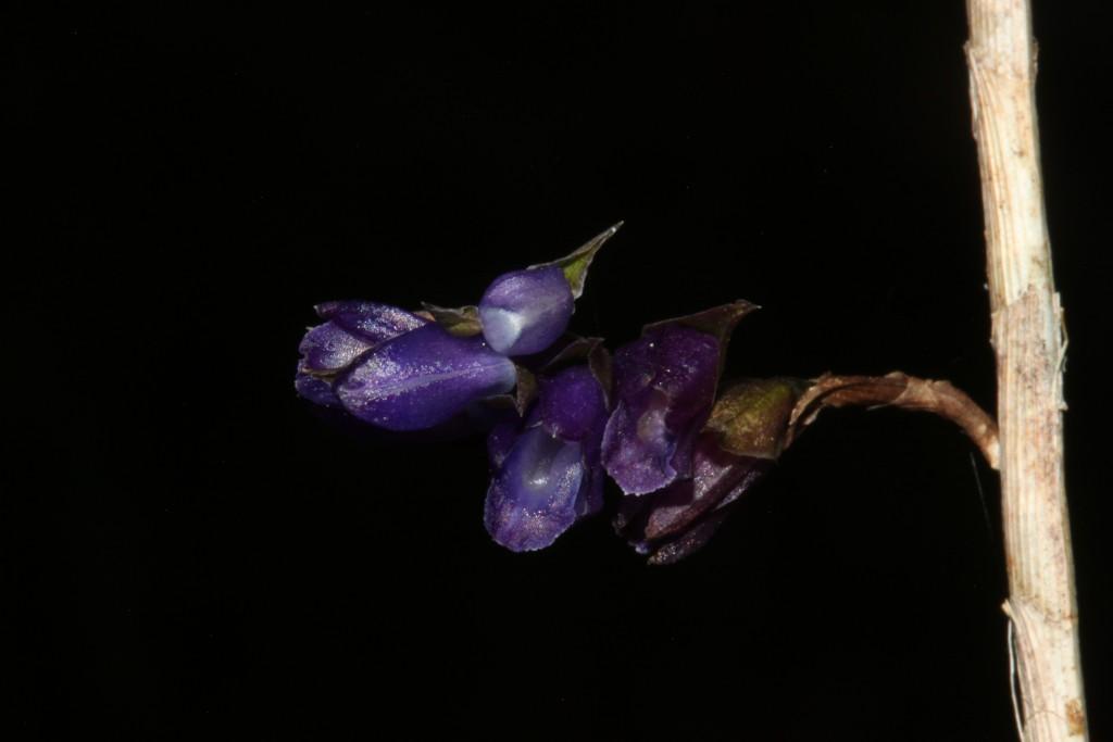 Appendicula malindangensis