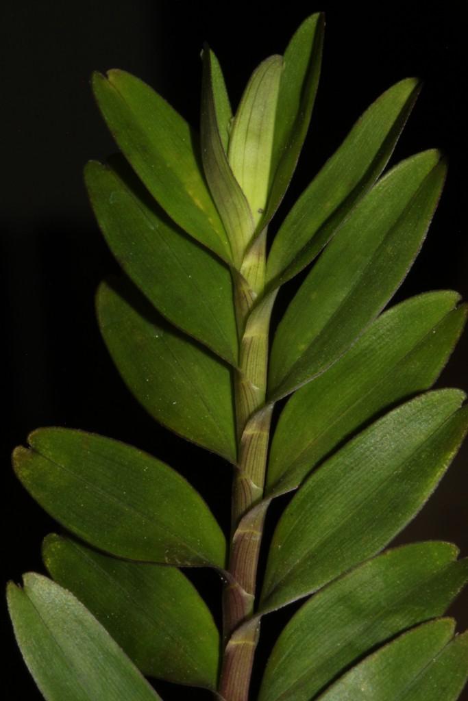 Neutrieb von Appendicula malindangensis