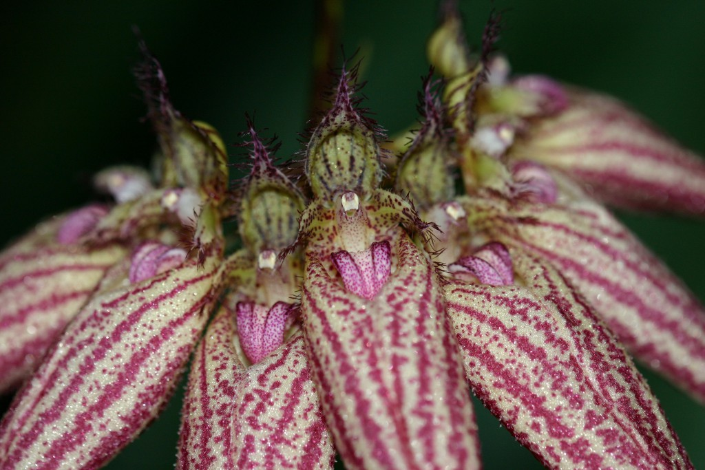 "Bulbophyllum Ann ""Buckleberry """