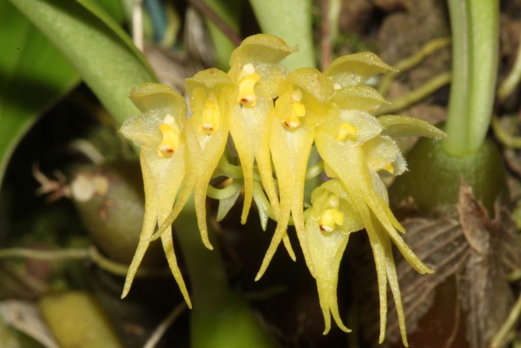 Bulbophyllum scrabatum
