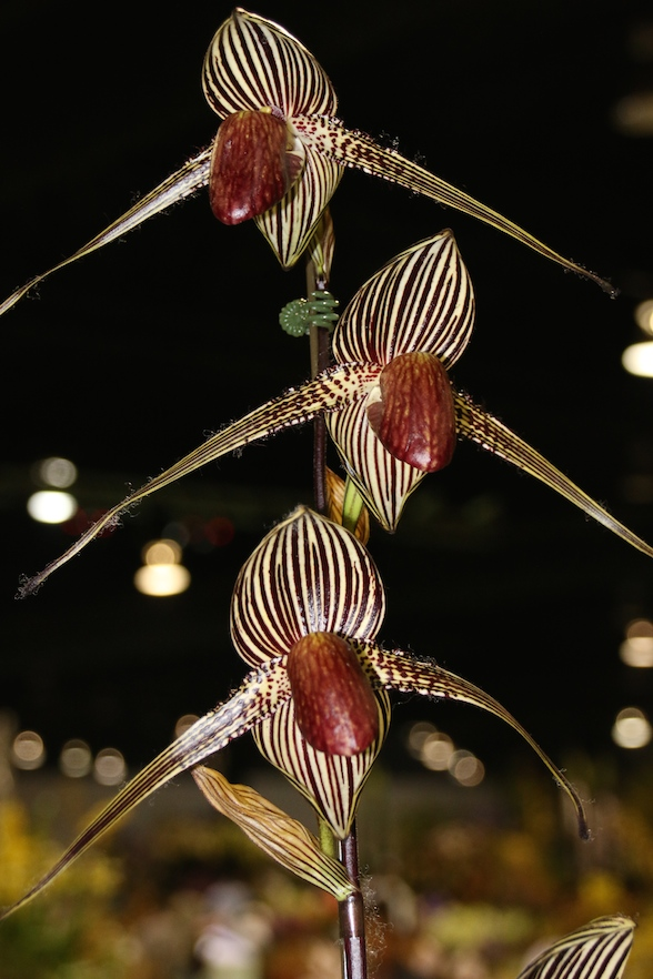 "Paphiopedilum rothschildianum ""Blumeninsel"""