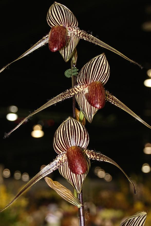"""Paphiopedilum rothschildianum """"Blumeninsel"""""""