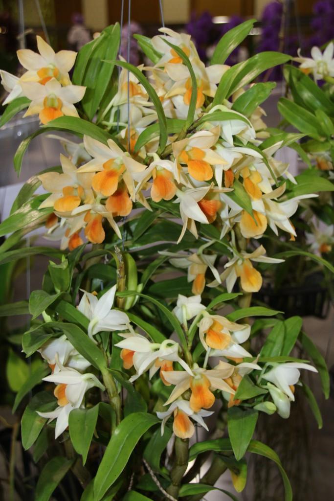 Dendrobium Frosty Dawn  Hybride