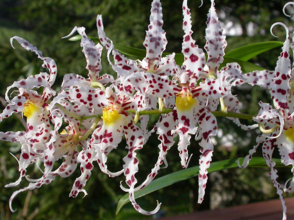 Odotoglossum naevium Waldvogelpflanze
