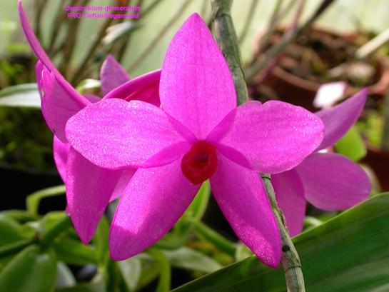 Dendrobium glomeratum eine sehr auffällige Erscheinung
