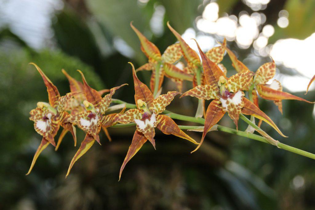 Odontoglossum cordatum