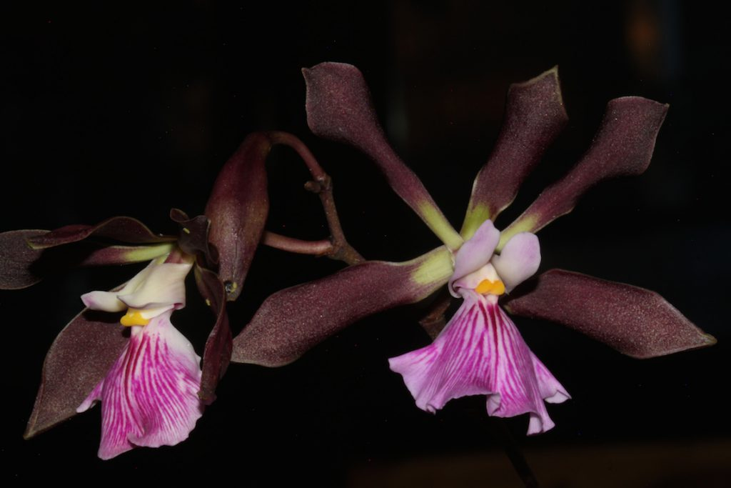 Encyclia Orchid Jungle