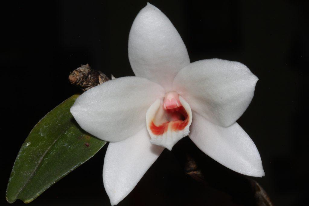 Dendrobium multilineatum