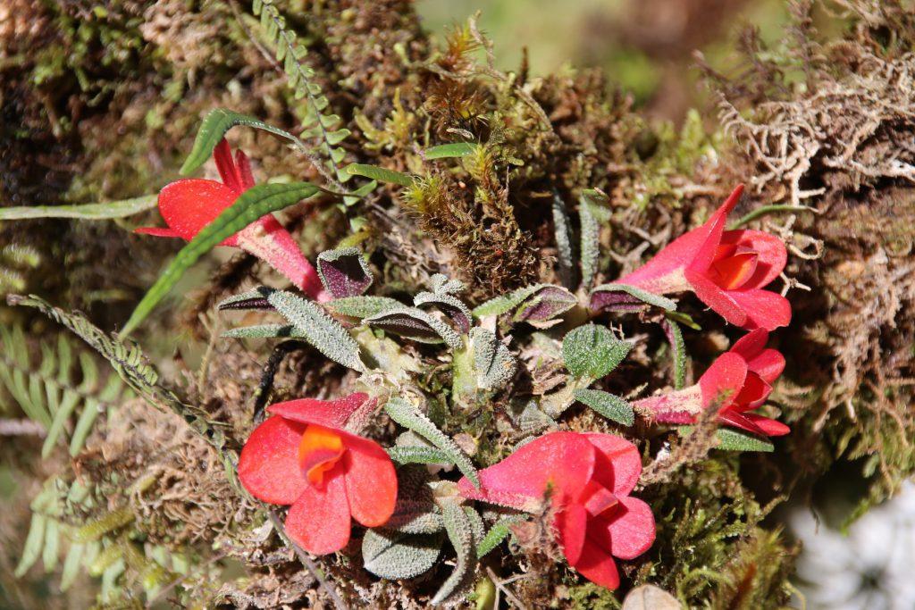 Dendrobium cuthbertsonii am Standort Tari Gap