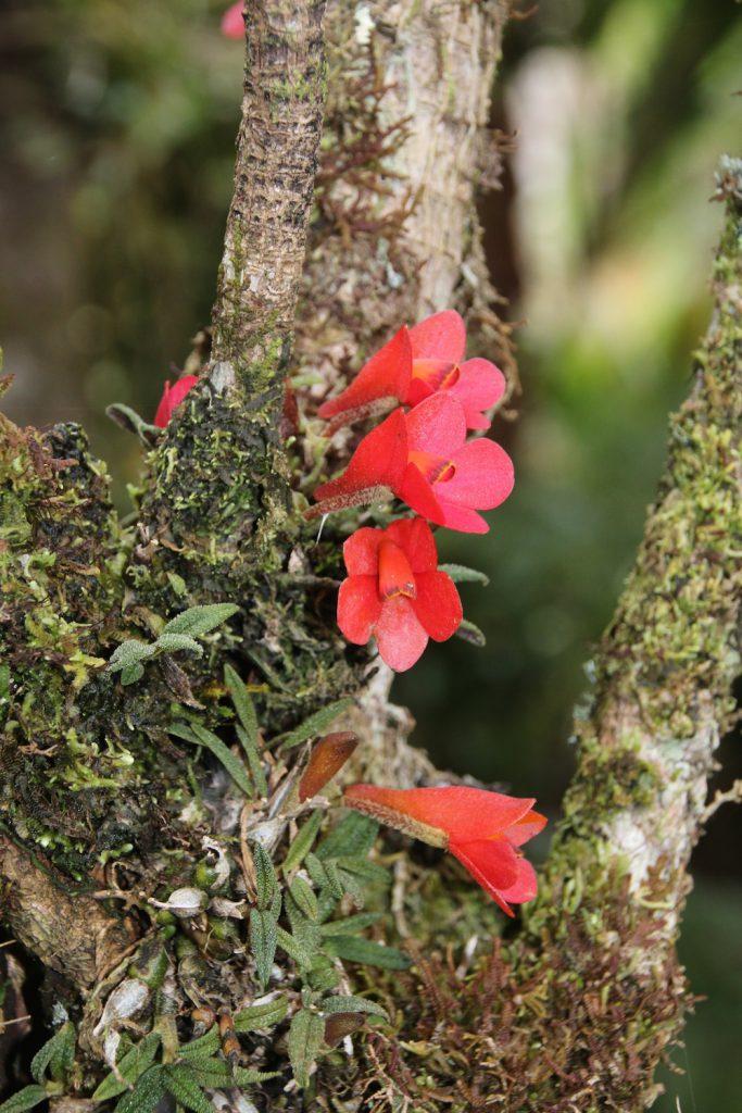Dendrobium cuthbertsonii rot