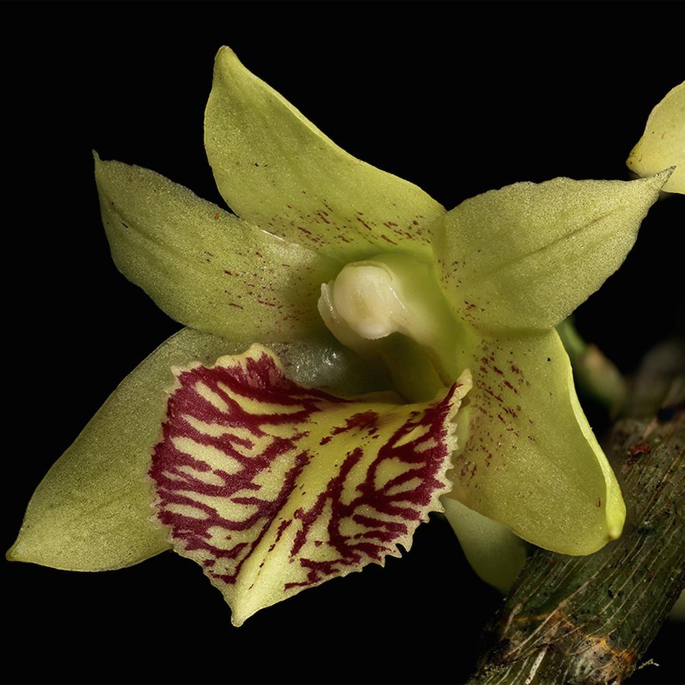 Dendrobium schettleri