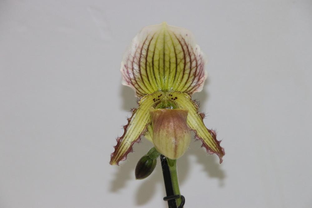 Paphiopedilum fairrieanum x glaucophyllum