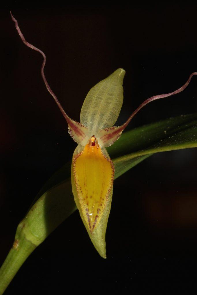 Blüte von Pleurothallis nuda