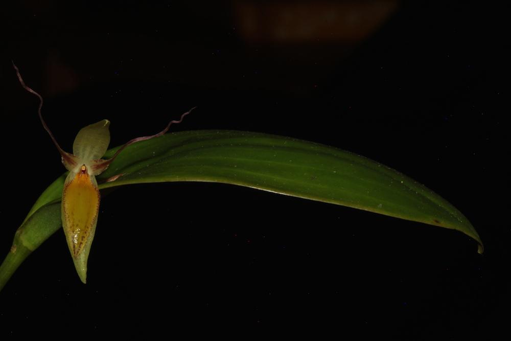 Pleurothallis nuda blüht auf dem Blatt