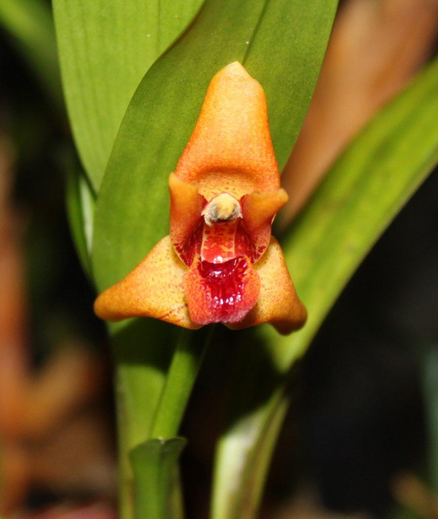 Maxillaria eliator