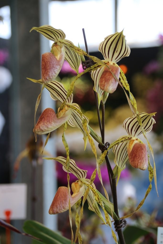 Paphiopedilum Yellow Tiger