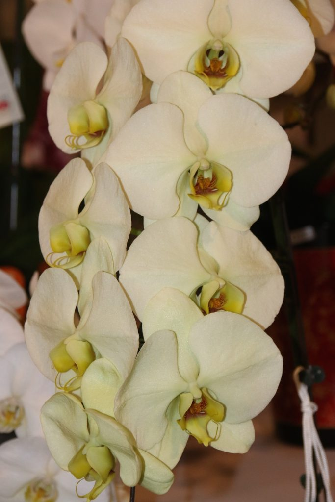 Phal. Taisuco Green Apple