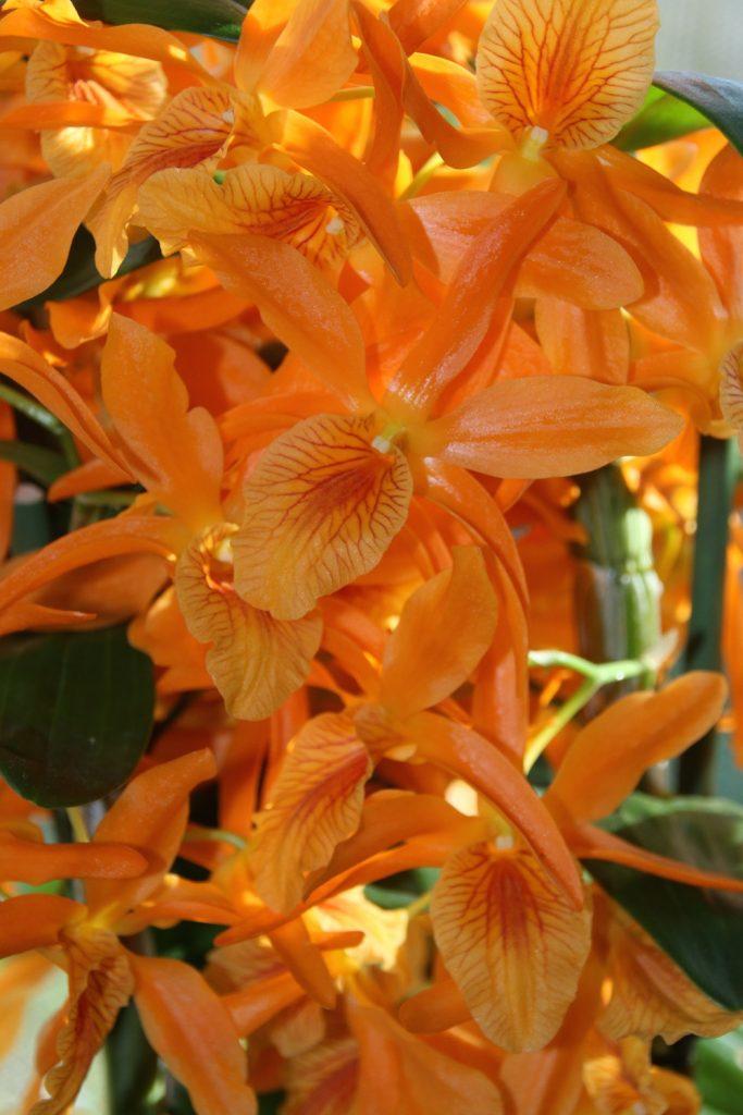 "Dendrobium Stardust ""Firebird"""