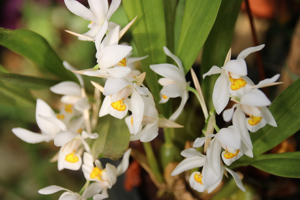 coelogyne nitida syn ochracea bl ht im fr hling roland 39 s orchideen blog. Black Bedroom Furniture Sets. Home Design Ideas
