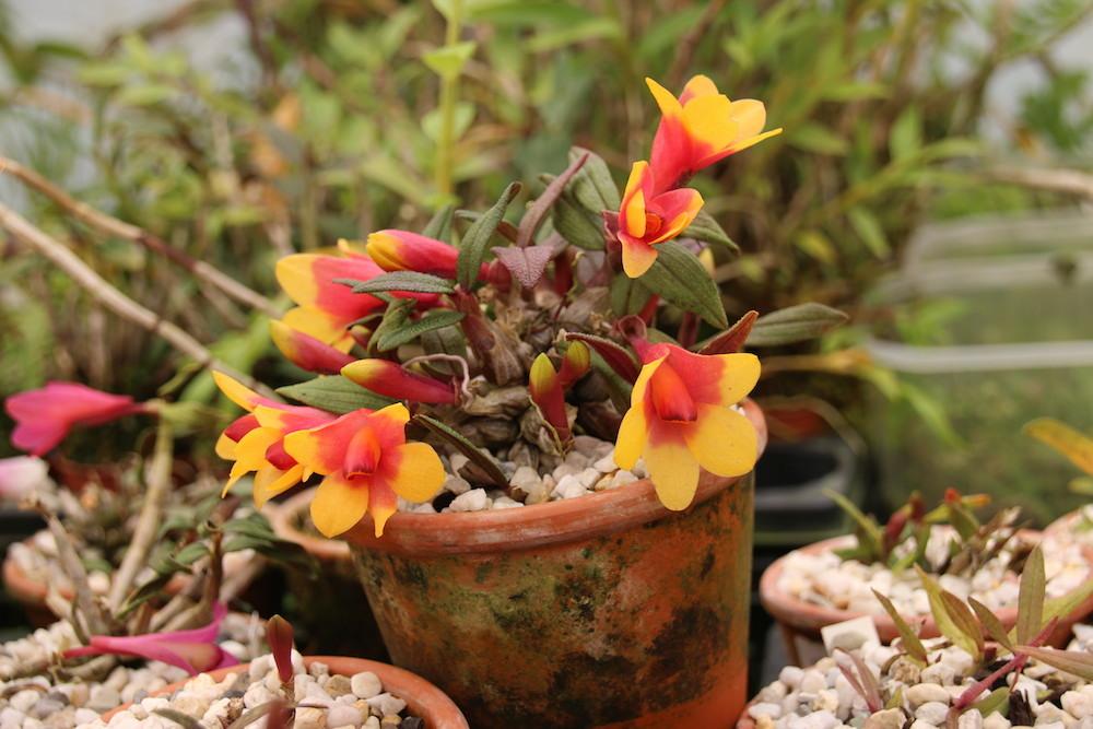 Dendrobium Aussies Hi-Lo