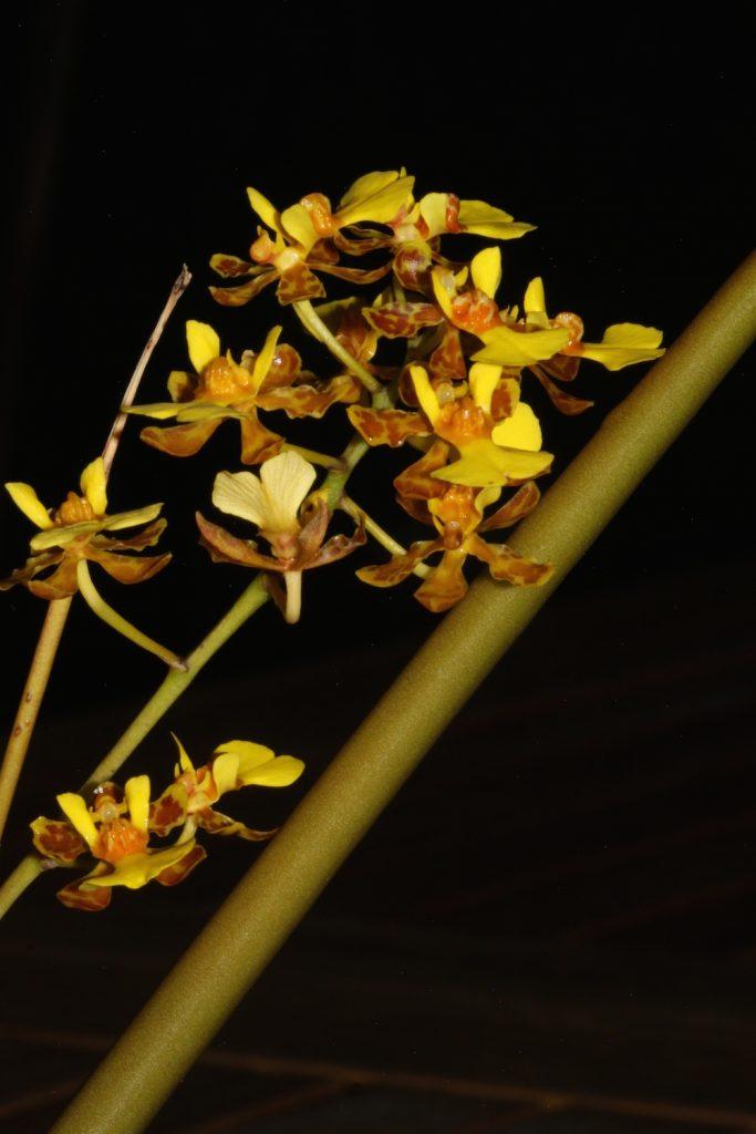 Trichocentrum cebolleta