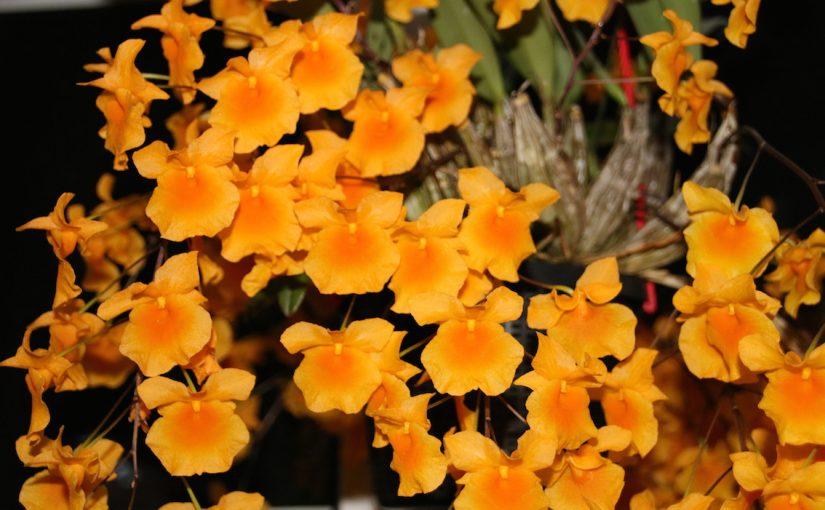 Dendrobium aggregatum, große Pflanze mit vielen Blüten.